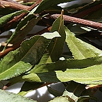 Dried Willow Twigs with Leaves